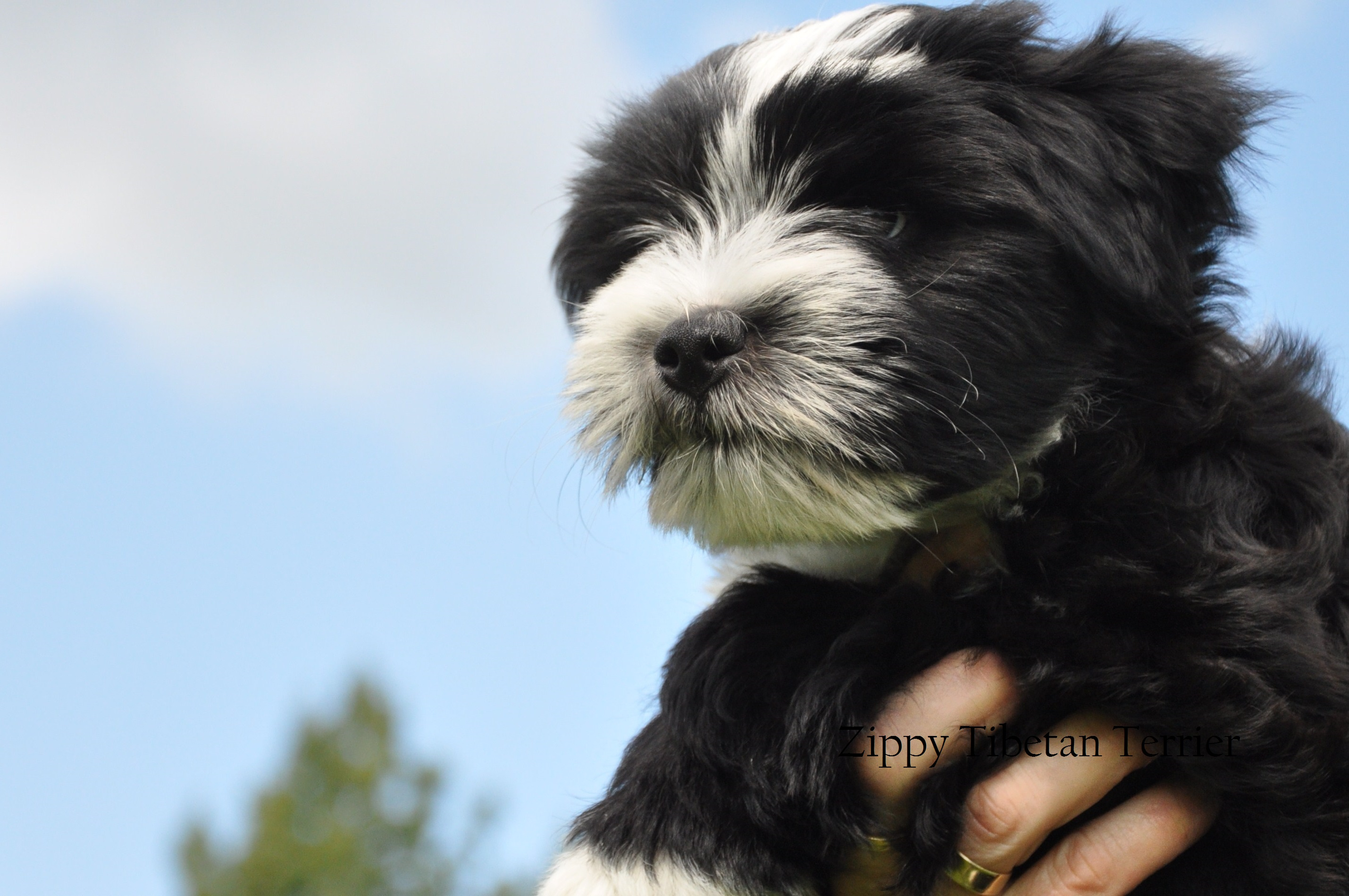Zippy Tibetan Terrier