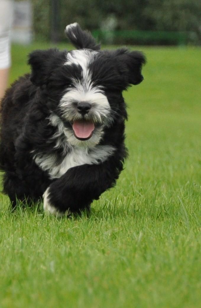 Zippy Tibetan Terrier